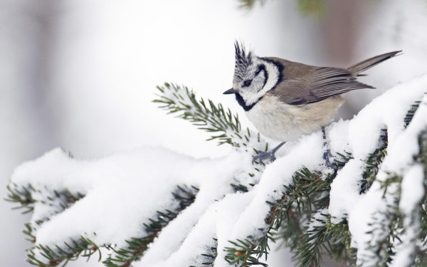 Bird-in-winter-wallpaper_74827