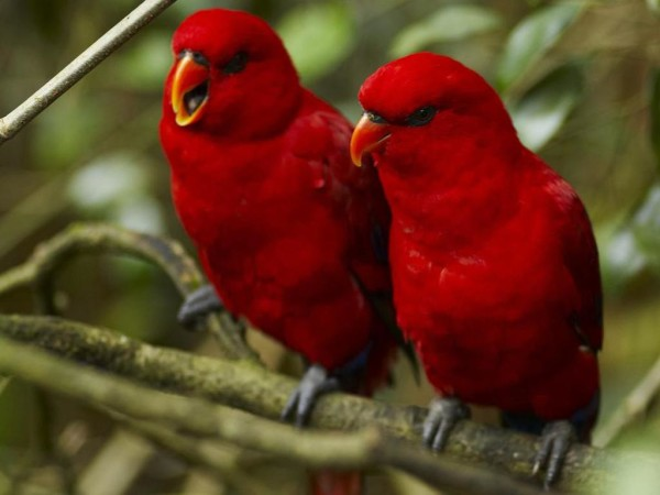 Red_Birds_Wallpaper_1eh0i67