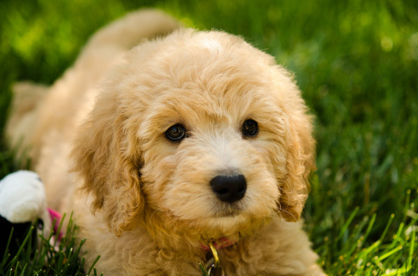 40 Beautiful And Cute Puppies Pictures Download