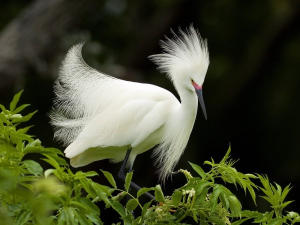 snowy_egret_in_breeding_plumage_wallpaper_birds_animals_wallpaper_1600_1200_4650