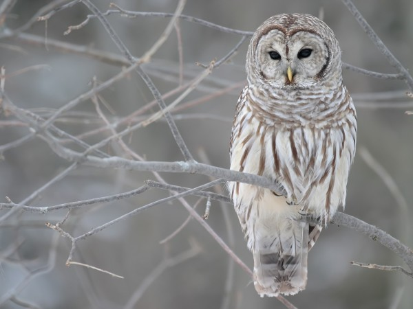 winter_birds_owls_desktop_1600x1200_hd-wallpaper-114676634